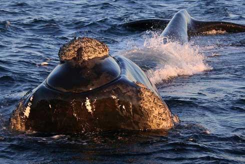 ballena franca austral