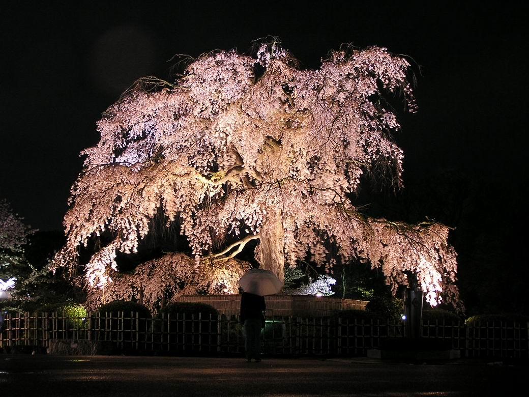 """Yozakura """"Cerezos de Noche"""".( Fuente: blog.laopinioncoruna.es)"""