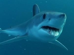 Tiburón Mako ( Fuente: Tariga )