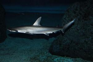 Tiburón Bonnethead ( Fuente: wikipedia )