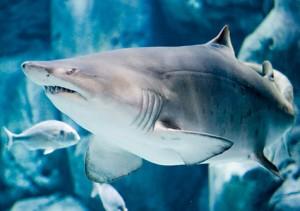 Tiburón Toro ( Fuente: pescaprofesional.net)