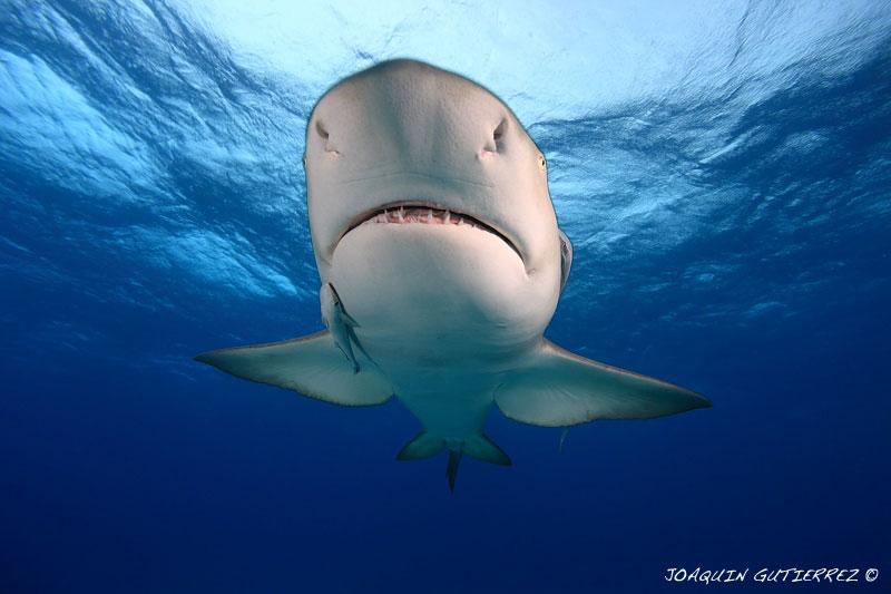 Tiburón Limon ( Fuente: fotonatura.org)