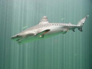 Tiburón Tigre ( Fuente: universalocean.es)
