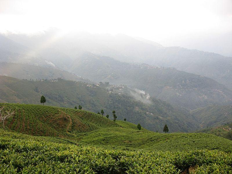 Plantacion de Té en Darjeeling ( Fuente: Wikipedia )