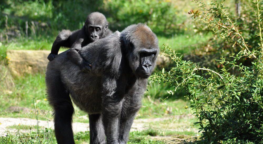 Uganda_Biwindi_gorilas_gorillas