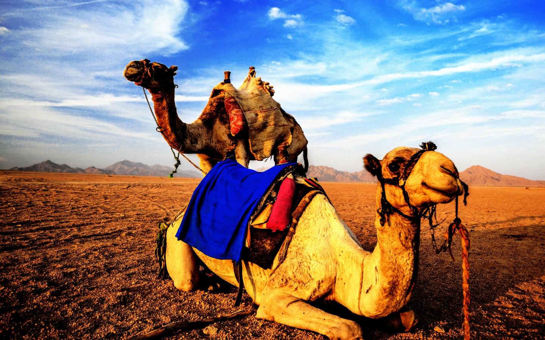 cameles