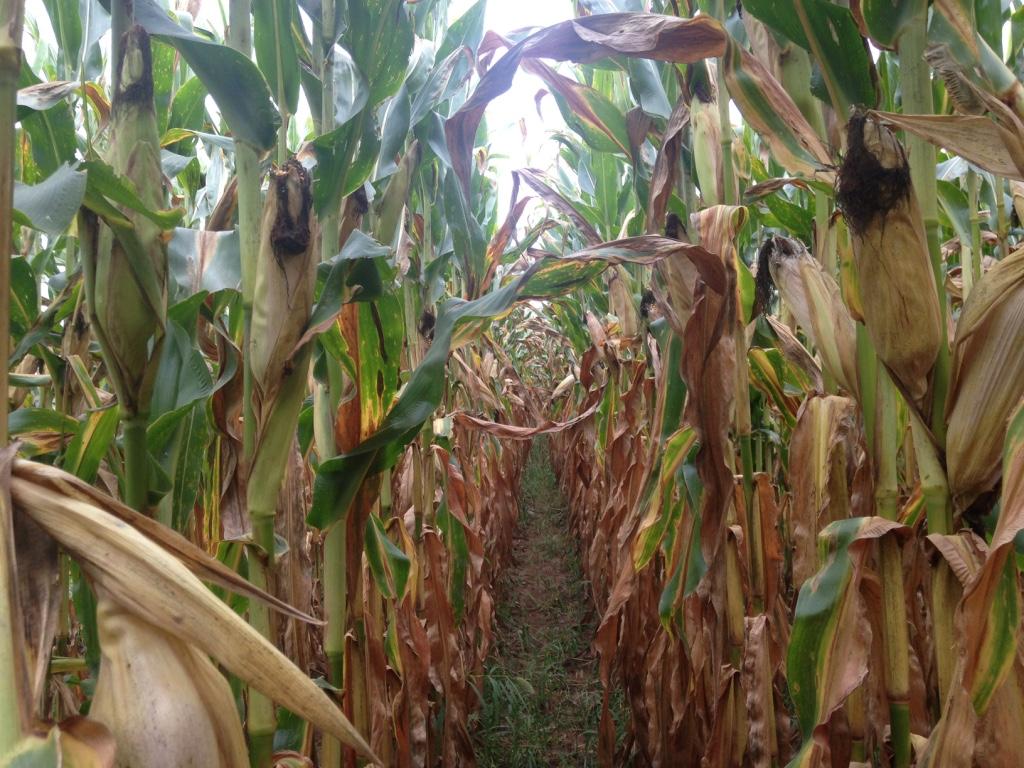 cultivos_de_maiz_en_lancaster_nuevayork