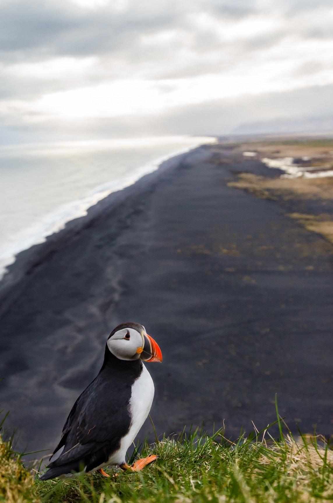 ruta por islandia puffin