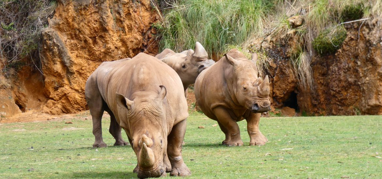 Rinocerontes Cabárceno-min