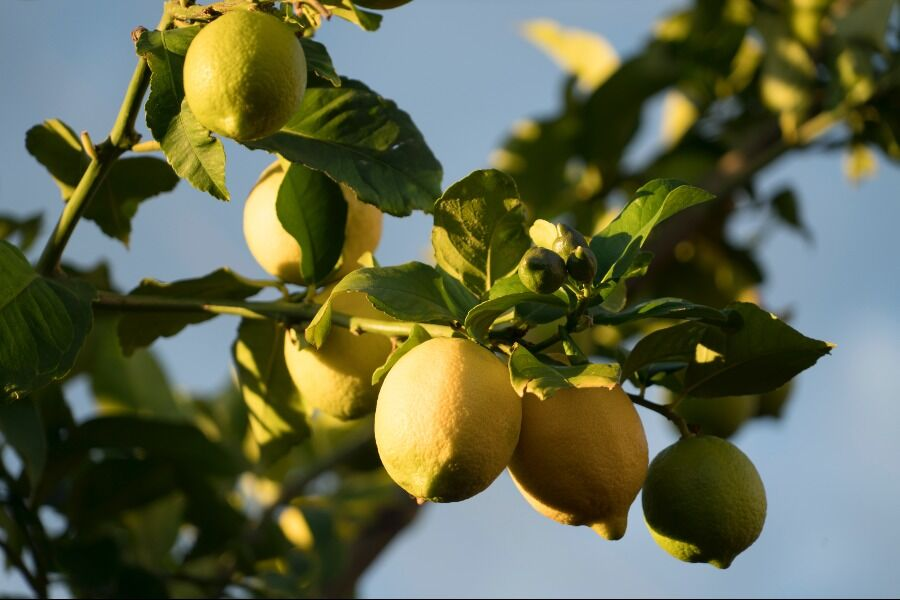 Limones de Prócida.