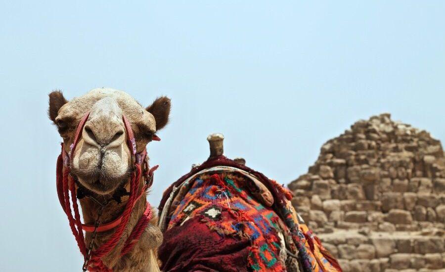 Camello y de fondo una pirámide