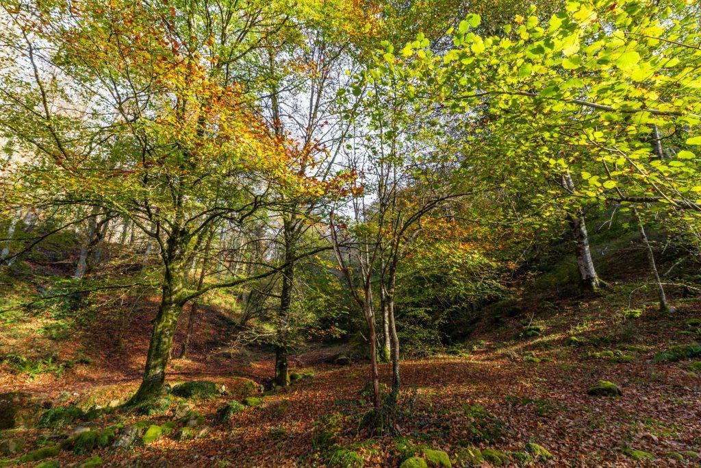 Bosque Ucieda en otoño, Cantabria